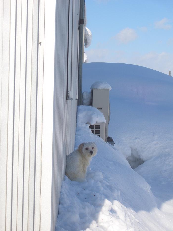 白犬.jpg