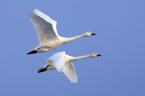 羽ばたく白鳥.jpg