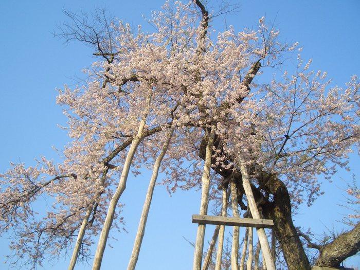 久保桜1.jpg