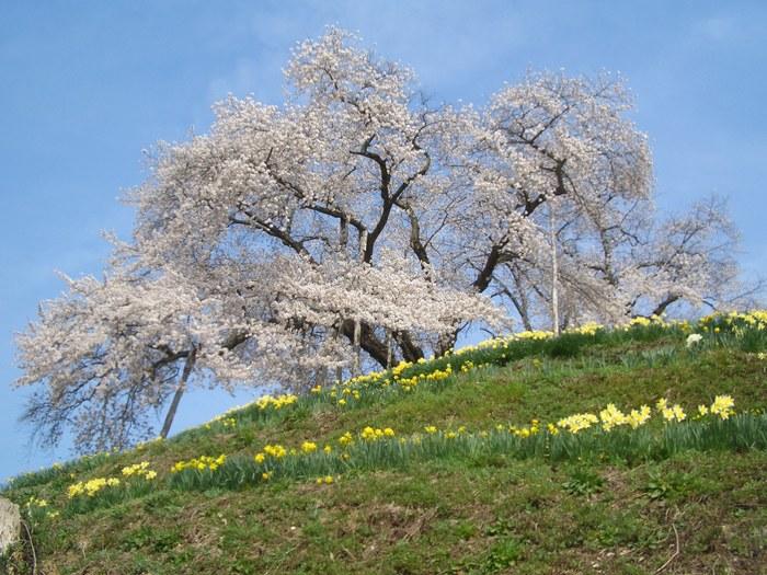 峰岸桜.jpg