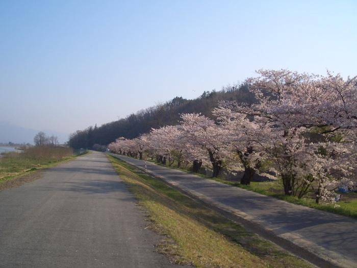 最上川桜1.JPG
