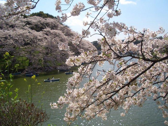東京桜1.jpg