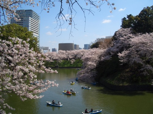 東京桜2.jpg