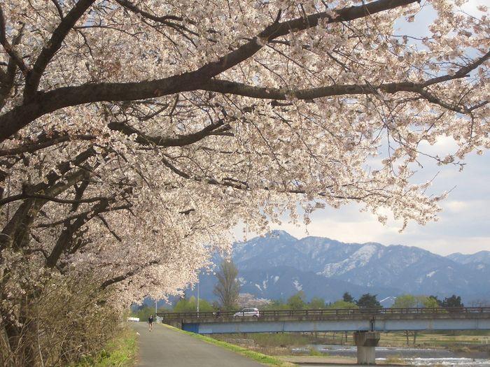 米桜8.JPG