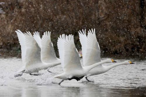 白鳥のラインダンス.jpg