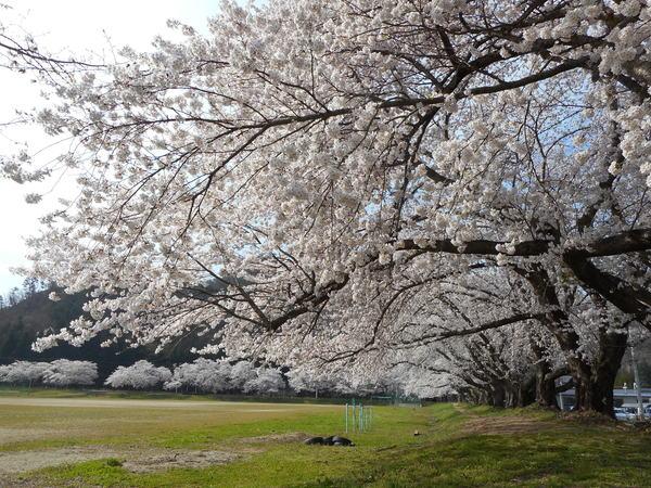 一中桜満開.JPG