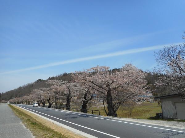 最上川桜.JPG