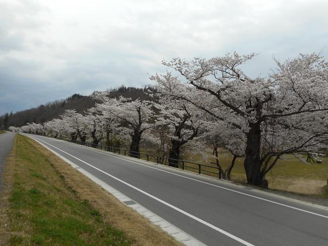 長井桜.JPG