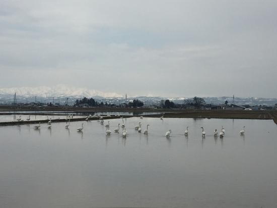 白鳥2.JPG