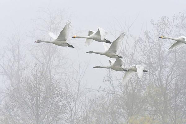 3白鳥.jpg